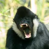 Portrait de singe : le Gibbon à favoris blancs