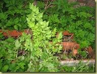 Løpestikke - Lovage - Levisticum officinalis