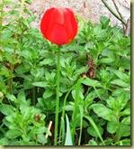 Tulip - alone