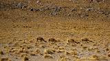 Vicunas, even sofer than alpacas