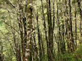 Beech Forest, Arthurs Pass