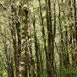 Beech Forest, Arthurs Pass