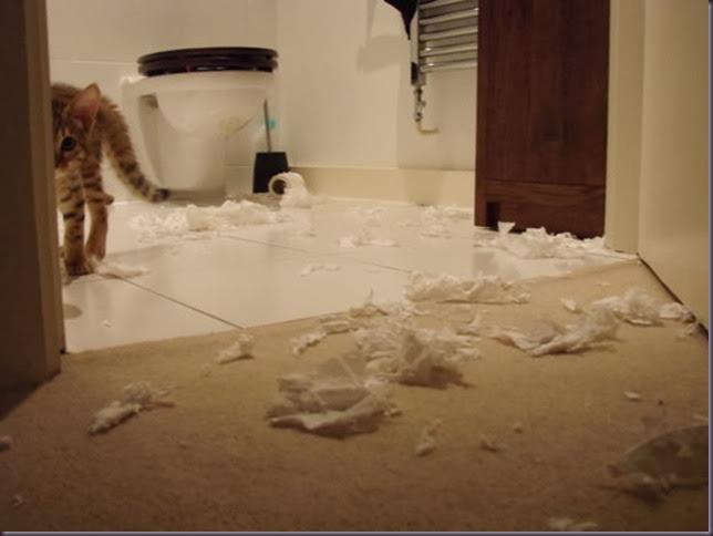cute,kitten,kitty,toilet,paper,toilet,paper,terror-a02b6e01dd7768085f640eed861a46c2_h
