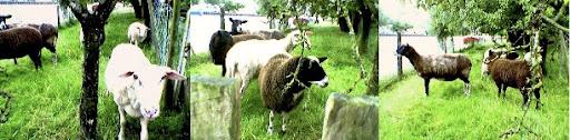 sheepcomposite-2005-08-18-10-46.jpg