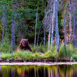 Brown bear ih Finland by Janne Monsen - Animals Other ( kajaani, finland, lake, kuikka, khumo )