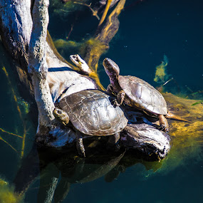2 turtles on a log by Scott Morgan - Animals Amphibians ( water, 2, two, green, turtles, lake, log,  )