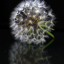 Dandelion by Phil Le Cren - Artistic Objects Other Objects ( dandelion, artistic, object )