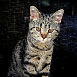 Isis in the Window by Marsha Biller - Animals - Cats Kittens ( screen, kitten, window, stool, egyptian mau,  )
