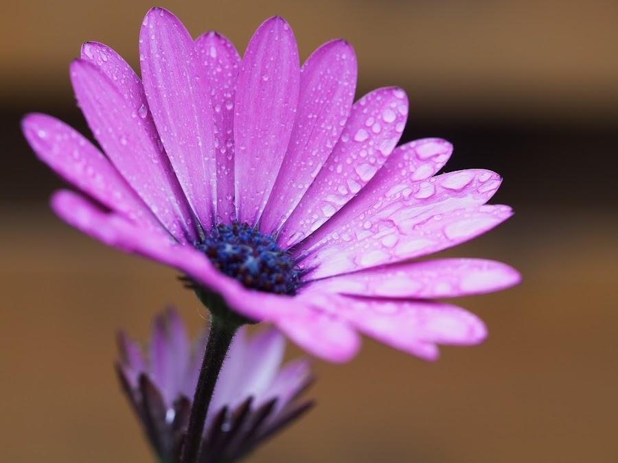 12 by Ólafur Ingi Ólafsson - Flowers Single Flower ( water, dop, purple, blue, purple flowers, water dop, water dops, stame, dops, purple flower )