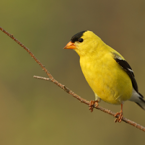 American Goldfinch by Herb Houghton - Animals Birds
