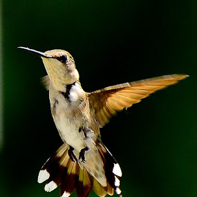 Hummingbird by Patricia Warren - Animals Birds ( bird, nature, hummingbird, wildlife, ruby throated hummimgbird,  )