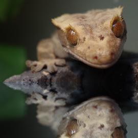 Crested Gecko Reflection by Gareth Dickin - Digital Art Animals ( lizard, foot, gecko, b;ack, eyes )