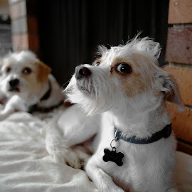 Cosmo and Rudy by Andy Chinn - Animals - Dogs Portraits ( puppies, dogs, doggy, terrier, puppy, dog,  )