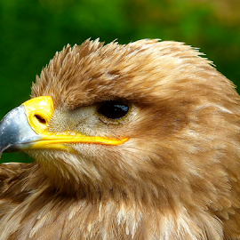 by Laura Payne - Animals Birds ( bill, stare, yellow, feather, dignified, side, black, eye, animal, regal, nostril, eagle, watch, tawny, blood, bird, rapter, see, blue, beak, preditor, brown, fluff, buff, proud )