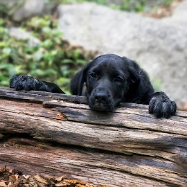 Hiking With Grady by David Hammond - Animals - Dogs Puppies ( dogs, puppy, lab, hiking, black,  )