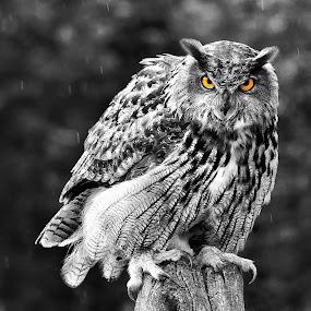 It's Raining  6494  by Karen Celella - Animals Birds ( animals, selective color, owl, birds, rain, pwc )