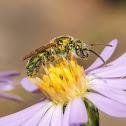 Metallic Green Bees