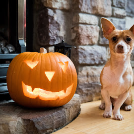 by Jamie Ryan - Animals - Dogs Portraits ( jackhuahua, jackchi, dog, chihuahua, halloween )