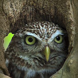 Little Owl Peaking by Alex Graeme - Animals Birds ( little owl, owl )