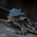 Coast Horned Lizard