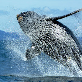Humpback Whale breaching by Wade Tregaskis - Animals Sea Creatures ( humpback, barnacles, splash, breaching, fins, fin, whale, whitewater )