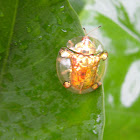 Asian Golden Tortoise Beetle