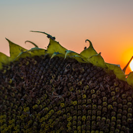 Sun Sun by Paul Stadnyk - Nature Up Close Gardens & Produce ( nature, sunset, sunflower, close, september )