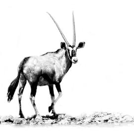 Oryx by Mari du Preez - Digital Art Animals ( oryx, black and white, buck, antelope, mammal )