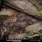 Arizona Ridge Nosed Rattlesnake