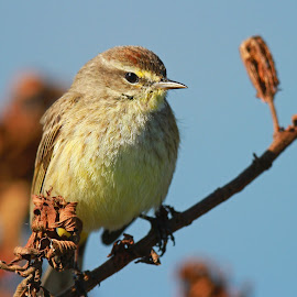 A Palm Warbler by Anthony Goldman - Animals Birds ( palm, bird, wild, florida, lakeland, warbler )