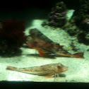 Tub gurnard - gallinella
