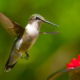 Yum, Food! by Roy Walter - Animals Birds ( flight, animals, hummingbird, wildlife, birds )