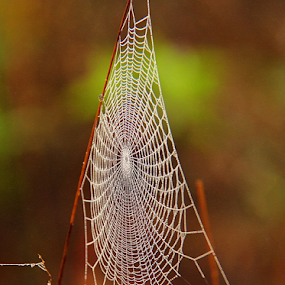 by Shrikrishna Bhat - Nature Up Close Webs ( color, colors, landscape, portrait, object, filter forge, web, spiderweb )