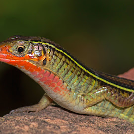 Yellow-throated Plated Lizard by Warren Keith Dick - Animals Reptiles (  )