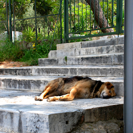 Street Dog III, Athens, Greece by Jane Spencer - Animals - Dogs Portraits ( greece, street, athens, stray, dog )