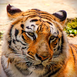 Lazy Face by Danny Zu - Animals Lions, Tigers & Big Cats