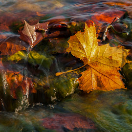 Golden Leaf by Bill Kuhn - Nature Up Close Leaves & Grasses ( water, stream, leave, autumn, fall, leaf, river )