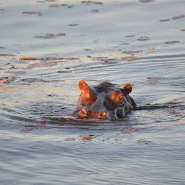 Lurking by Shashank Pattekar - Novices Only Wildlife ( chobe, botswana, hippo, africa, river )