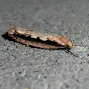 Large Winter Leptocroca Moth