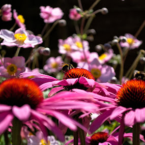 Bee on Echinacea by Dunstan Vavasour - Nature Up Close Gardens & Produce ( echinacea, nature, bee, garden, close-up,  )