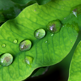 by Dipali S - Nature Up Close Leaves & Grasses ( nature, green, foliage, drops, leaf, leaves, rain )