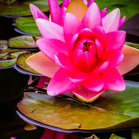 Lillies in the Lake by Christine Weaver-Cimala - Flowers Flowers in the Wild ( canon, water, reflection, pink, flower, lilly )