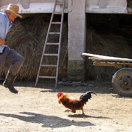 I had a fiery rooster by Maja  Marjanovic - People Street & Candids ( fight, action, rooster, people, animal )