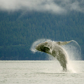 Jump by Adam Taylor - Novices Only Wildlife ( humpback, breach, alaska, onlyinalaska, whale )