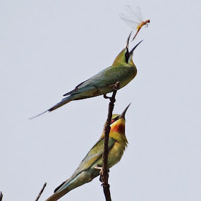 The tasty lunch a pair of Long tailed Green-bee eater at Katihar on 05-04-2013 by Subrata Sarkar - Animals Birds