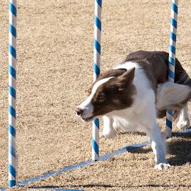 Weaving by Monica Garrett - Animals - Dogs Running ( red, white, dog, agility, weaving )