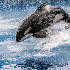 Jump by Yasser Ayad - Animals Other Mammals ( water, tongue, blue, fish, white, killer whale, black,  )
