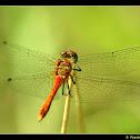 red dragonfly (Sympetrum sanguineum)