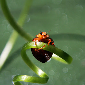 Lady bugs by Ad Har - Animals Insects & Spiders