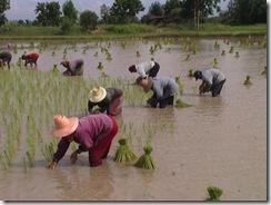 800px-Tranplant-rice-tahiland
